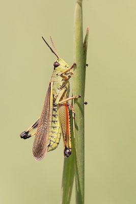 Sumpfschrecke (Stethophyma grossum) Männchen Bild 001 Foto: Regine Schadach