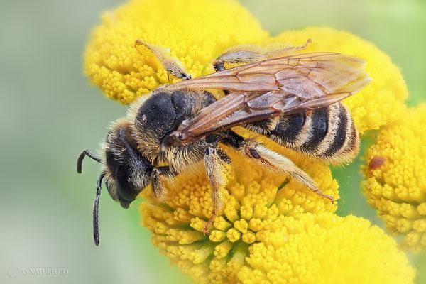 Halictus-Furchenbiene (unbestimmt) (Halictus indet.) - Weibchen - Foto: Regine Schadach