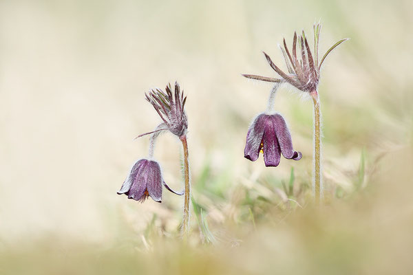Dunkle Wiesen-Kuhschelle (Pulsatilla pratensis subsp. nigricans)  Bild 001 Foto: Regine Schulz