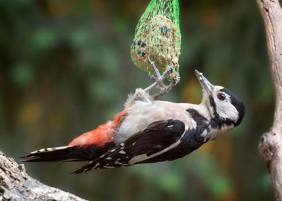 Buntspecht (Dendrocopos major) Weibchen an der Vogelfütterung -Bild 005 Foto: Regine Schadach - OM-D E-M5 Mark II - M.ZUIKO DIGITAL ED 40‑150mm 1:2.8 PRO