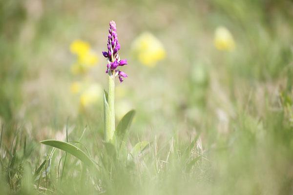 Manns-Knabenkraut (Orchis mascula) Bild 012 Foto: Regine Schadach