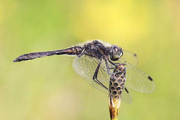 Schwarze Heidelibelle (Sympetrum danae) - Bild 004 - Foto: Regine Schadach