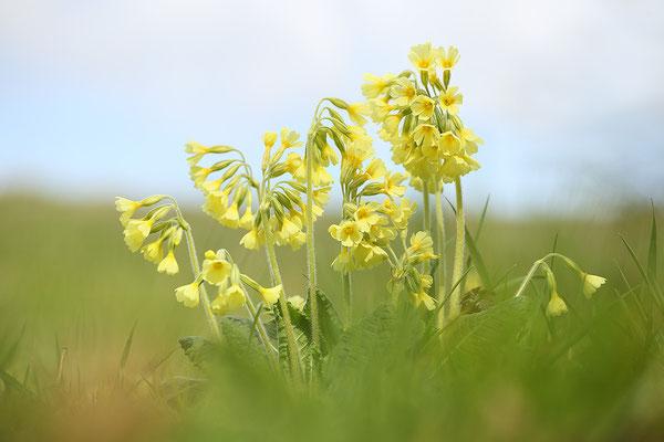 Hohe Schlüsselblume (Primula elatior) Bild 002 Foto: Regine Schadach