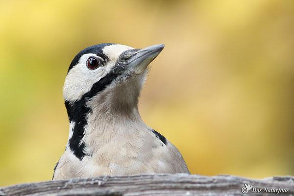Buntspecht (Dendrocopos major) Weibchen Bild 004 Foto: Regine Schadach