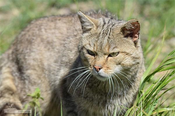 Wildkatze (Felis silvestris) Bild 001 - Foto: Uwe Bärecke