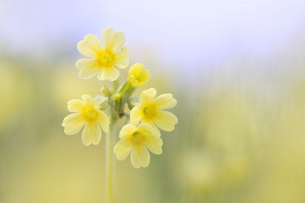 Hohe Schlüsselblume (Primula elatior) Bild 001 Foto: Regine Schadach