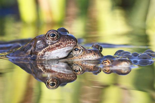 Drei von Tausend! Grasfrosch (Rana temporaria) - Bild 001 - Foto: Regine Schadach - Canon EOS 7D Mark II Sigma 150mm f/2.8 Macro