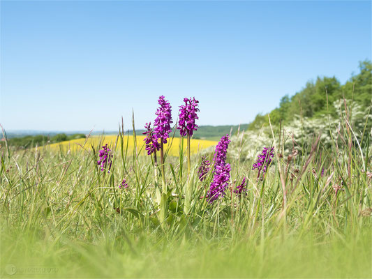 Manns-Knabenkraut (Orchis mascula)  - Bild 017 -Foto: Regine Schulz - Olympus OM-D E-M5 Mark II - M.ZUIKO DIGITAL ED 12‑100 1:4.0 IS PRO