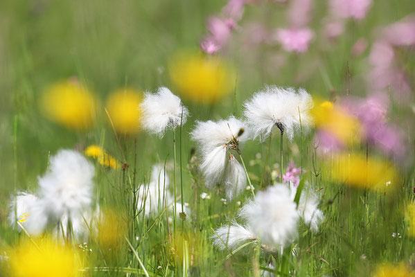 Schmalblättriges Wollgras (Eriophorum angustifolium) - Bild 001 - Foto: Regine Schadach