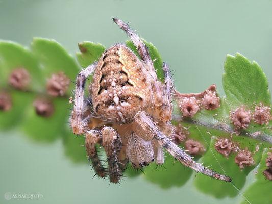 Junge Gartenkreuzspinne (Araneus diadematus) Bild 001 - Foto: Regine Schadach - Olympus OM-D E-M1 Mark I I - M.ZUIKO DIGITAL ED 60mm 1:2.8 Macro