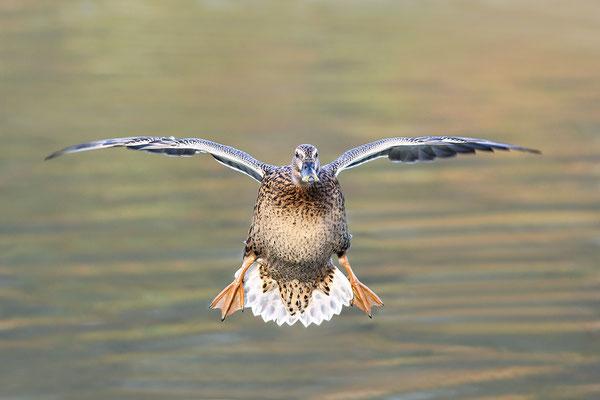 Stockente (Anas platyrhynchos) - Weibchen Bild 009 Foto: Regine Schadach