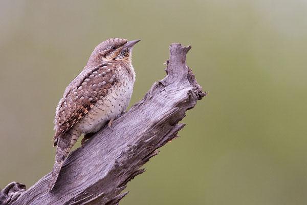 Sein Gefieder ist eindrucksvoll. Durch seine Farben und seinem Facettenreichtum ist der Vogel immer gut getarnt. - Foto: Petra Engler