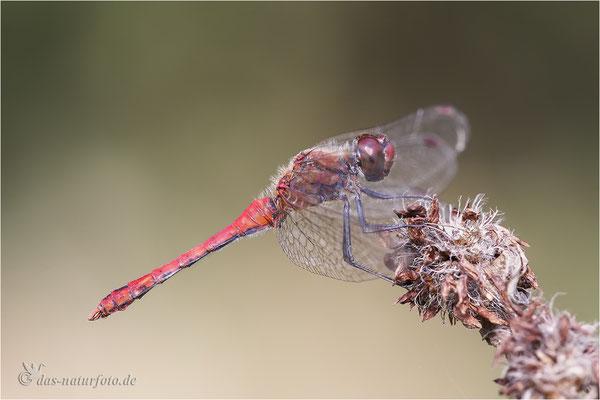 Blutrote Heidelibelle (Sympetrum sanguineum) Bild 005 Foto: Regine Schadach - Canon EOS 5D Mark III Sigma 150mm f/2.8 Macro
