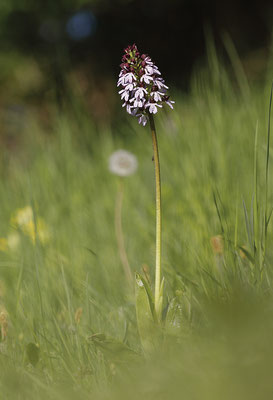 Purpur-Knabenkraut (Orchis purpurea) Bild 002 Foto: Regine Schulz