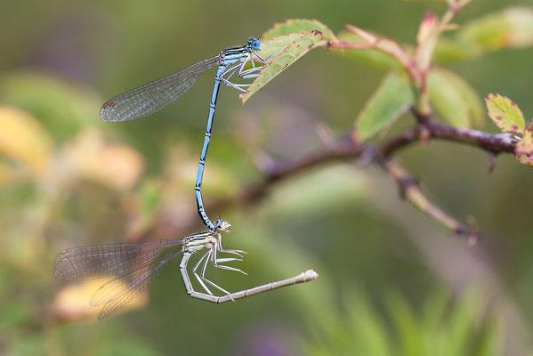 """Gemeine Federlibelle (Platycnemis pennipes) - auch """"Blaue Federlibelle"""" Bild 018 Foto: Regine Schadach"""