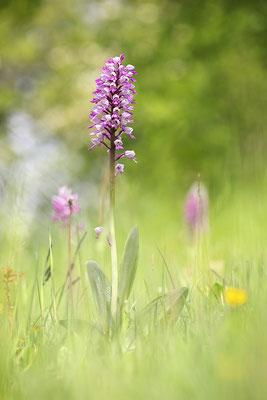 Helm-Knabenkraut (Orchis militaris) - Bild 002 - Foto: Regine Schadach