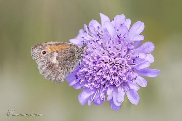 Kleines Wiesenvögelchen (Coenonympha pamphilus) auf Ackerwitwenblume Bild 002 Foto: Regine Schadach - Canon EOS 5D Mark III Sigma 150mm f/2.8 Macro