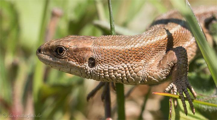 Waldeidechse (Zootoca vivipara) - Bild 000 - Foto: Regine Schadach