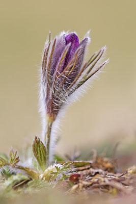 Gewöhnliche Kuhschelle (Pulsatilla vulgaris) Bild 014 Foto: Regine Schadach
