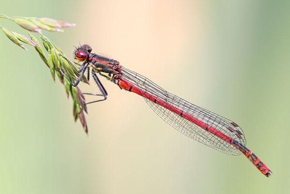 Frühe Adonislibelle (Pyrrhosoma nymphula) Männchen Bild 002 Foto: Regine Schulz
