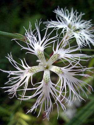 Pracht-Nelke (Dianthus superbus) Bild 002 Foto: Regine Schulz