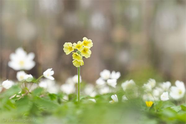 Hohe Schlüsselblume (Primula elatior)   Bild 006 Foto: Regine Schadach - Olympus OM-D E-M5 Mark II - M.ZUIKO DIGITAL ED 40‑150mm 1:2.8 PRO