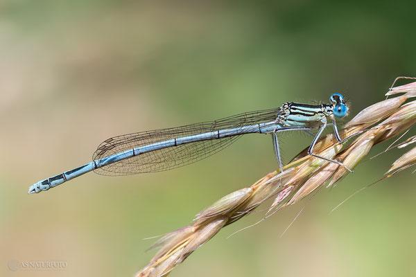 Blaue Federlibelle (Platycnemis pennipes) ) Bild 025 - Foto: Regine Schadach - Olympus OM-D E-M1 Mark II - M.ZUIKO DIGITAL ED 60mm 1:2.8 Macro