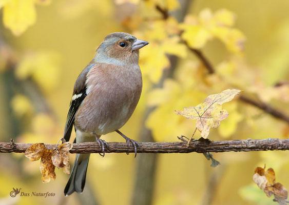 Buchfink (Fringilla coelebs)  - Männchen Bild 001 Foto: Regine Schadach