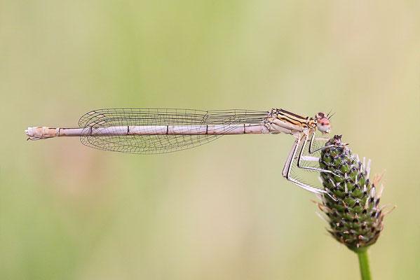 """Gemeine Federlibelle (Platycnemis pennipes)  Weibchen - auch """"Blaue Federlibelle"""" Bild 021 Foto: Regine Schadach"""