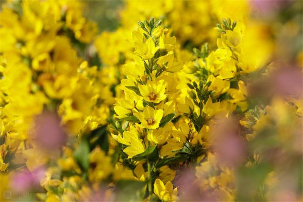 Gewöhnlicher Gilbweiderich (Lysimachia vulgaris) Bild 001 Foto: Regine Schadach - Canon EOS 5D Mark III Sigma 150mm f/2.8 Macro