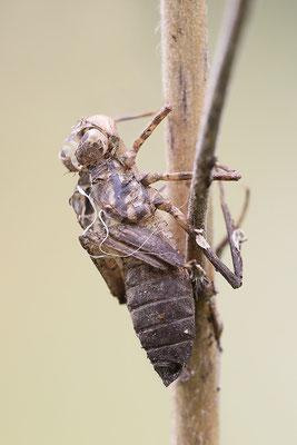 Falkenlibelle (Cordulia aenea) - Exuvie Bild 007 Foto: Regine Schadach