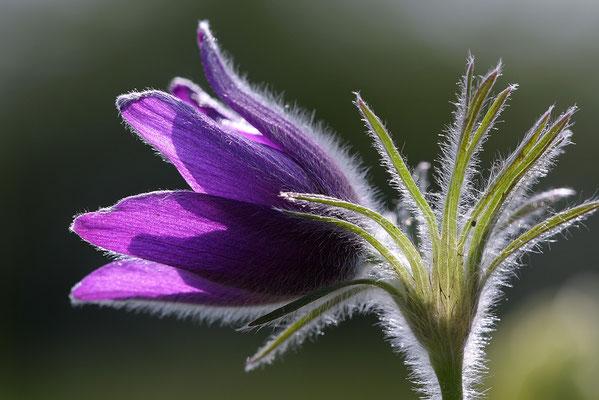 Gewöhnliche Kuhschelle (Pulsatilla vulgaris) Bild 015 Foto: Regine Schadach