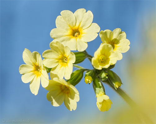 Hohe Schlüsselblume (Primula elatior)   Bild 005 Foto: Regine Schadach - Olympus OM-D E-M5 Mark II - M.ZUIKO DIGITAL ED 40‑150mm 1:2.8 PRO