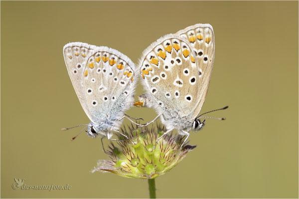 Hauhechel-Bläuling (Polyommatus icarus) Paarung Bild 008 Foto: Regine Schadach - Canon EOS 5D Mark III Sigma 150mm f/2.8 Macro