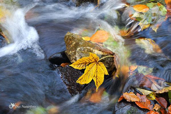 Alles fließt! - Berg-Ahorn (Acer pseudoplatanus) Bild 014 Foto: Regine Schulz