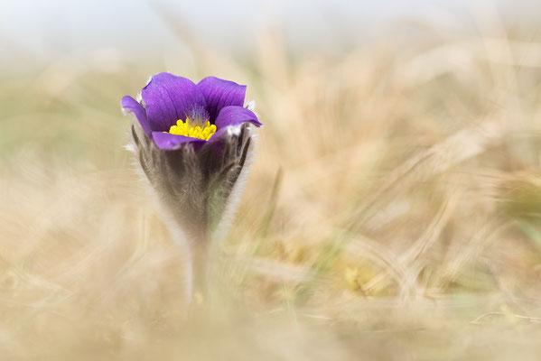 Gewöhnliche Kuhschelle (Pulsatilla vulgaris) Bild 010 Foto: Regine Schulz