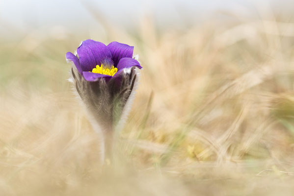 Gewöhnliche Kuhschelle (Pulsatilla vulgaris) Bild 010 Foto: Regine Schadach