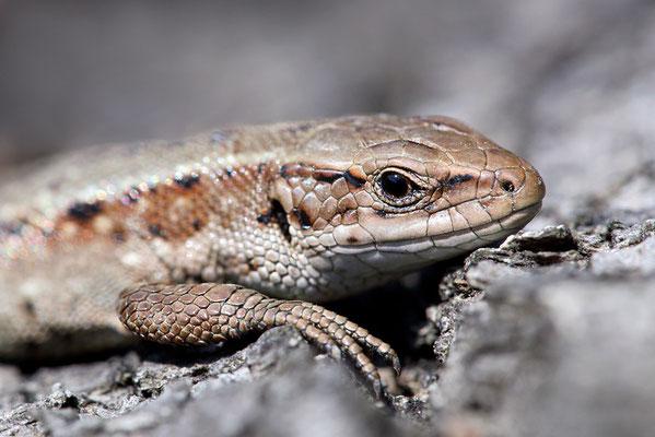 Waldeidechse (Zootoca vivipara) - Bild 002 - Foto: Regine Schadach