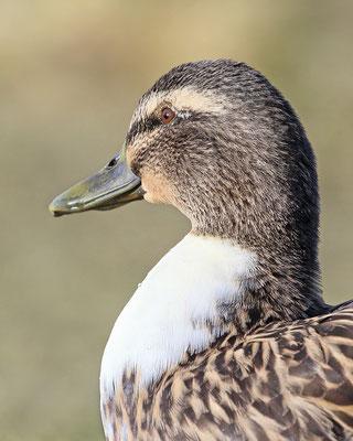 Stockente x Hausente (Anas platyrhynchos x Anas domesticus)- Weibchen Bild 015 Foto: Regine Schulz