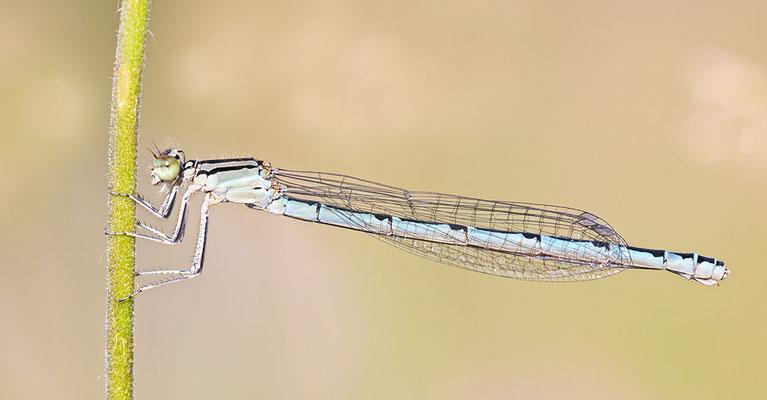 Gemeine Becherjungfer (Enallagma cyathigerum) Bild 001 Foto: Regine Schulz