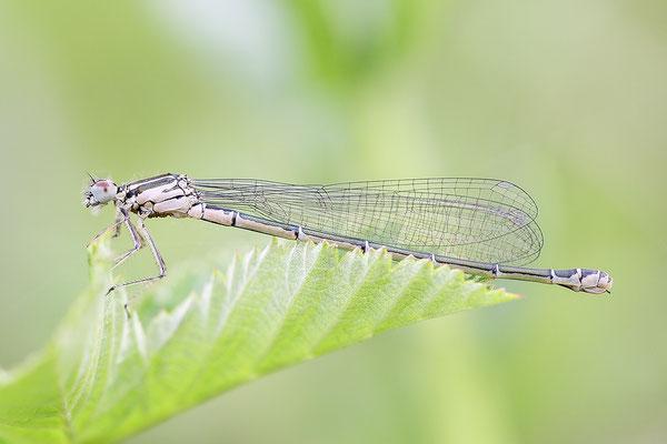 Hufeisen-Azurjungfer (Coenagrion puella) Weibchen, immatur - Bild 001 Foto: Regine Schulz