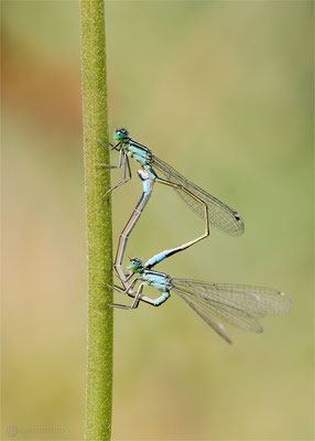 Große Pechlibelle (Ischnura elegans) Paarungsrad  Bild 024 Foto: Regine Schulz  - Canon EOS 5D Mark III Sigma 150mm f/2.8 Macro