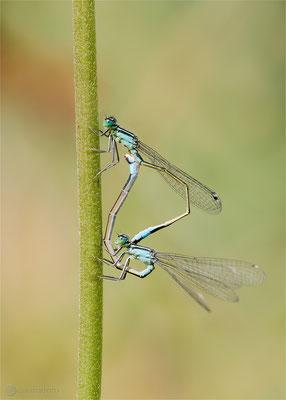 Große Pechlibelle (Ischnura elegans) Paarungsrad  Bild 024 Foto: Regine Schadach  - Canon EOS 5D Mark III Sigma 150mm f/2.8 Macro