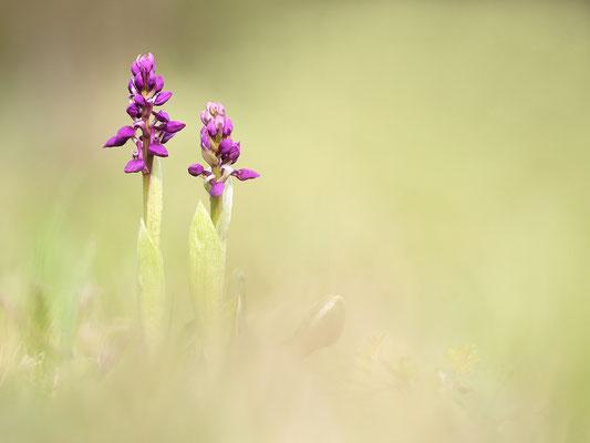 Stattliches Knabenkraut (Orchis mascula) - Bild 006 - Foto: Regine Schadach