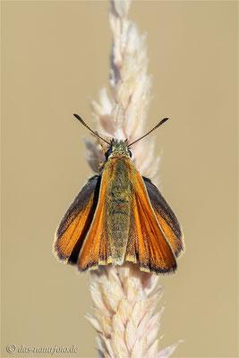 Schwarzkolbige Braun-Dickkopffalter (Thymelicus lineola)Bild 001 Foto: Regine Schadach
