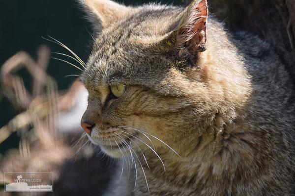 Wildkatze (Felis silvestris) Bild 006- Foto: Uwe Bärecke