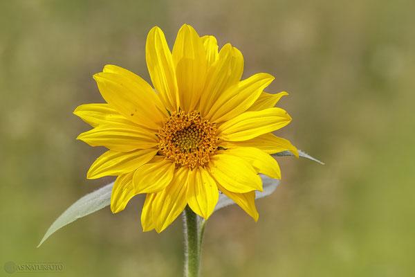 Gewöhnliche Sonnenblume (Helianthus annuus) Bild 002 Foto: Regine Schadach - Canon EOS 5D Mark II Sigma 150mm f/2.8 Macro