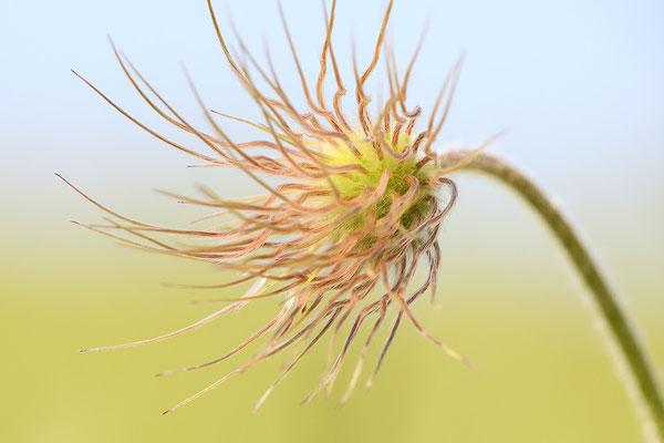 Gewöhnliche Kuhschelle (Pulsatilla vulgaris) Bild 020 Foto: Regine Schadach