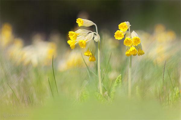 Wiesen-Schlüsselblume (Primula veris) - Bild 001 - Foto: Regine Schadach