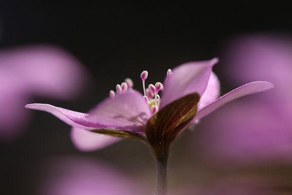 Leberblümchen (Hepatica nobilis) Bild 001 Foto: Regine Schulz
